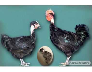 Суточные цыплята породы Испанская голошейная
