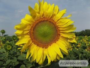 Насіння соняшника гібрид ДАРІЙ (F1) від виробника.
