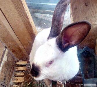 Продаються кролики каліфорнійські від одного місяця