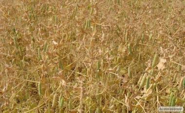 Семена немецкого посевного желтого гороха Мадонна. 1 репродукция
