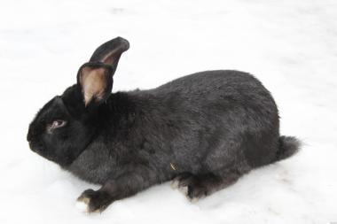 Кролі породи  бельгійський велетень фландр і сірий велетень
