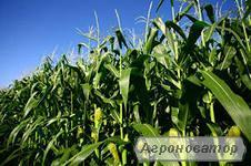 Гибрид кукурузы НС 101 (Нови Сад Сербия)