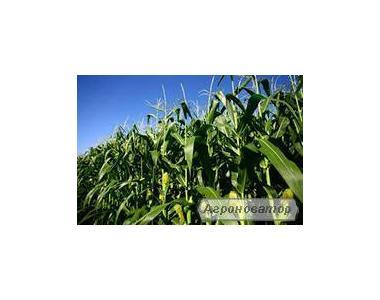 Гібрид кукурудзи НС 101 (Нові Сад, Сербія)