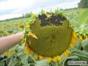 Семена подсолнечника - Солнечное настроение