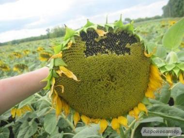 Насіння соняшнику - Сонячний настрій