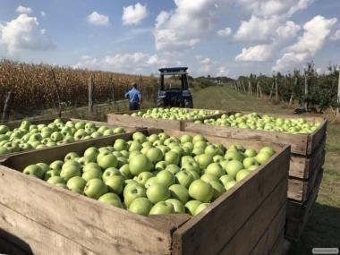 Оптовая продажа яблок из своего сада
