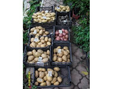 Сортовой картофель-Киранда,Гренада,Тайфун.