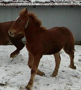 Коні ваговози лошата Російський тяжеловоз Жеребець