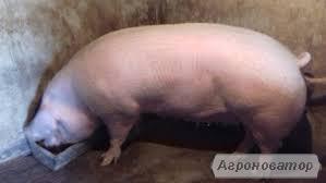 Продам домашню свинину, не фермерська.