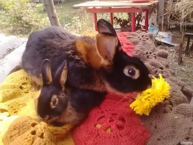 Чорно вогненні кролики.