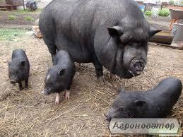 Свиноматки в'єтнамські - вислобрюхие