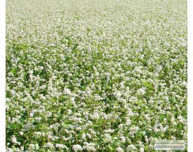 Семена гречихи. Сорта ДИКУЛЬ, ДЕВЯТКА. Урожай 23-35 ц/га.