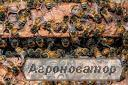 Продам Карпатские пчелы 2018 г.