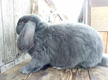 Кролики французского голубого барана и фландра