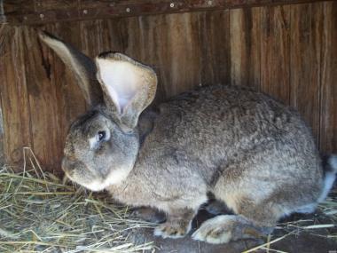 Обмін чистокровних кролів баран,фландр на солому,зернові.