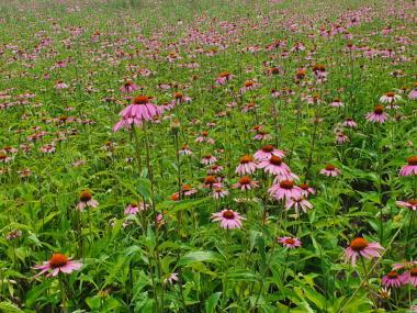 Реалізуємо траву ехінацеї пурпурової 2021