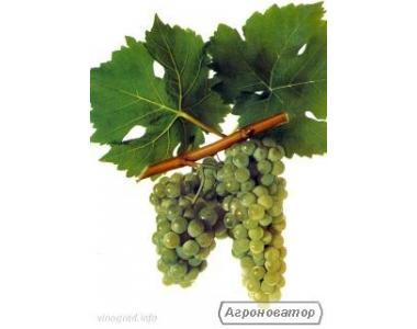 Продам натуральне елітне біле вино Мускат-Оттонель