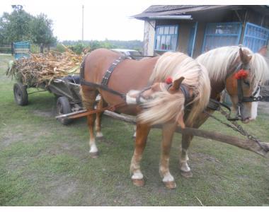 Продам жеребцов Новоалександровская ваговозна порода