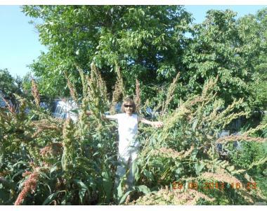 Семена Шпината Утеуша