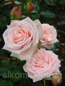 Роза розовая чайно-гибридная Solo Pink