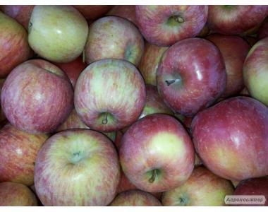 Продам яблоки в большом количестве разных сортов.