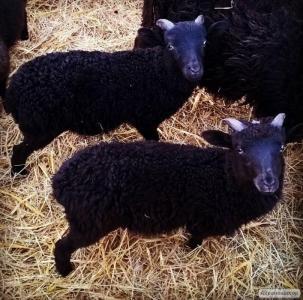 Вівці породи інша