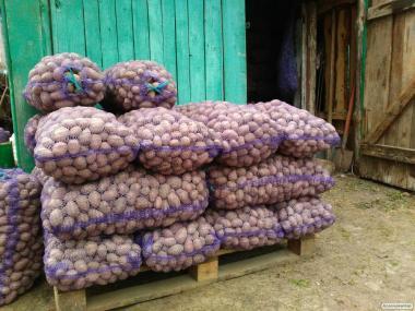 картофель посевной и товарный картопля сеянка