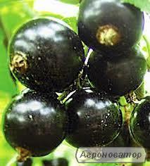 Саженцы черной смородины Юбилейная копаня