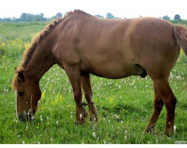 """Продається кінь """"Орел"""""""