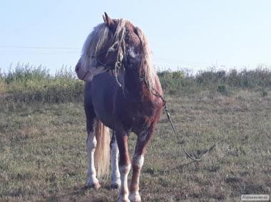 Продам конь, жеребець, лошадь