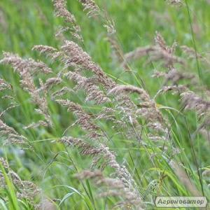 Семена Костра безостого (Стоколос) от 5 кг