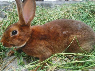 продам кроликов Рекс- Кастор