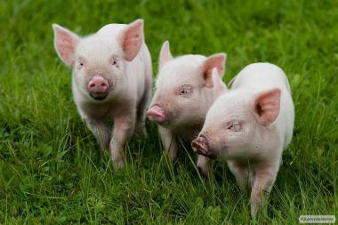 Продам поросят, свиней, ремонтних свинок, кнурів, спермопродукция.