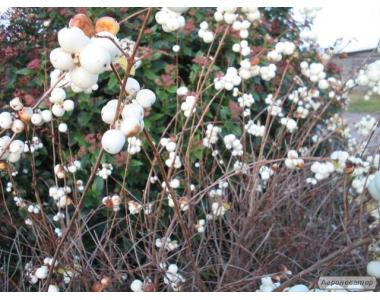Снежноягодник белый, барбарис обыкновенный, терн
