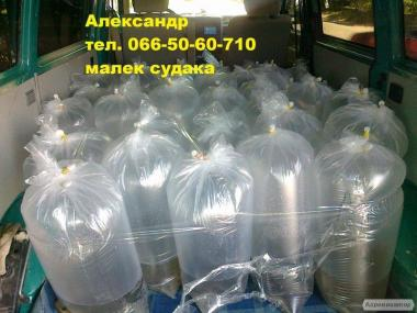 Продам малек судака 0.70 грн