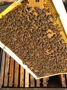 Продам Бджолопакети Карпатської породи 60-пакетів