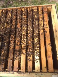 Продам бджолосім'ї Українська степова