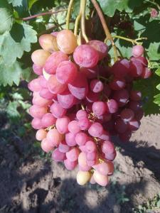 Продаем виноград столовый ранних и средних сортов