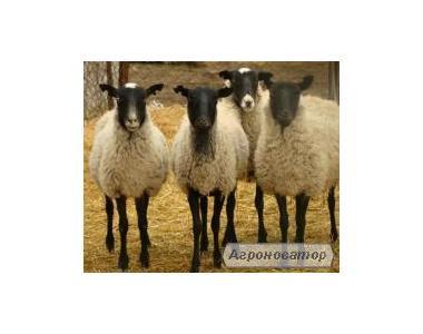4-місячний молодняк романівські вівці