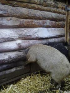 поросят угорської монгалицы підрощі 7 міс 60 - 70 кг
