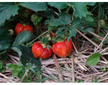 Продам саджанці полуниці (клубники)