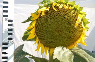Насіння соняшника, кукурудзи, ріпака, буряка