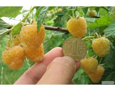 Саджанці малини сорту Жовтий Гігант,відмінної якості,від виробника
