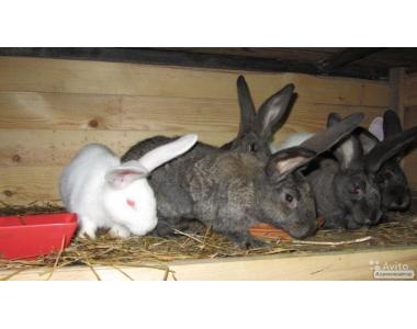 Продам кролики породы Серые великаны (середняки)