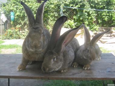 Продам молодняк кроликов Бельгийский великан,и Б\Большой