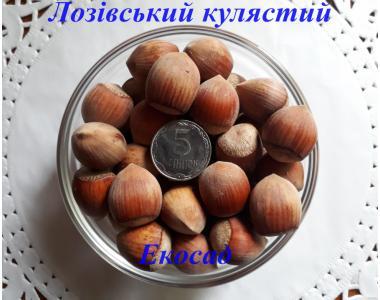 Саженцы фундука сорт Лозовской кулястый 2-х лет