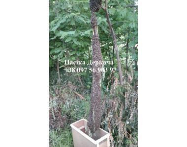 Продам безстільникові пчелопакеты карпатских пчел