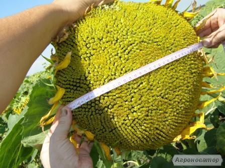 Пропонуємо насіння гібриду соняшника Ауріс,  SU (105 – 108 дн.)