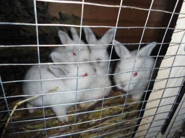 Кролики молодняк