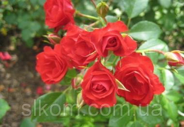 Троянда грунтопокривна Scarlet Meillandecor (Скарлет Мейландекор)